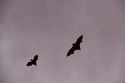 bats_above