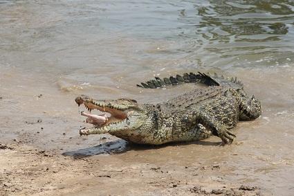 salty_croc
