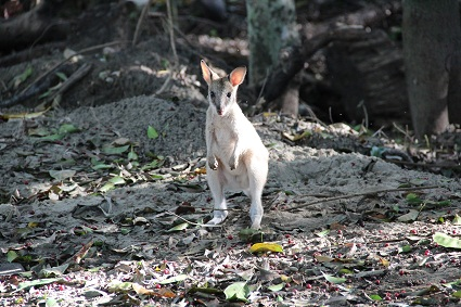 wildlife_baby_wallabie
