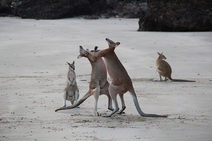 wildlife_wallabie_fight